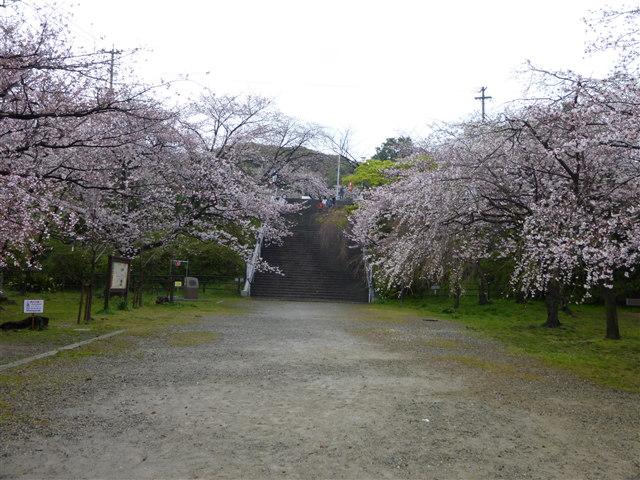 西公園桜2014-17