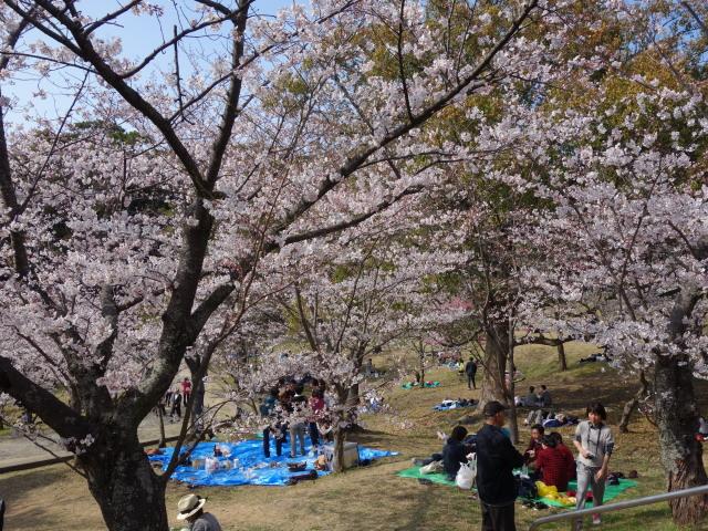 西公園桜2015さくら谷2