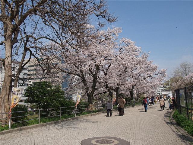 第5回 福岡城さくらまつり桜5
