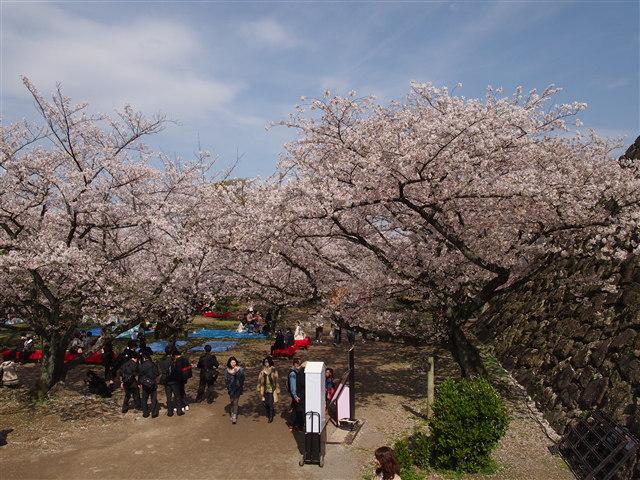 第5回 福岡城さくらまつり桜14
