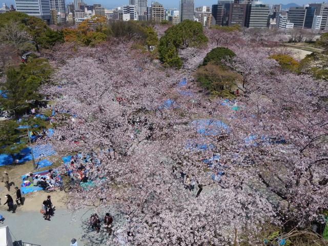 福岡城さくらまつり2015天守台4