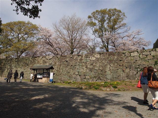 第5回 福岡城さくらまつり桜22