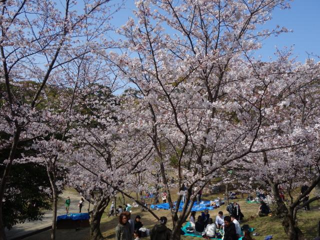 西公園桜2015さくら谷1