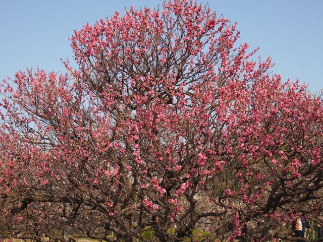 福岡城梅の花2014下7