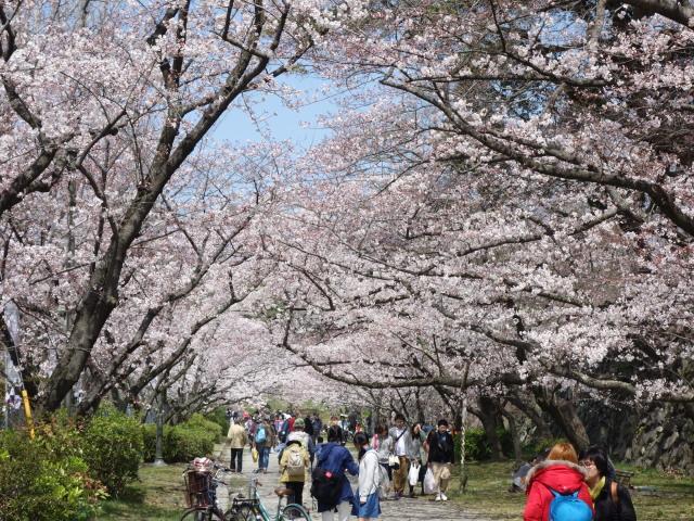 福岡城さくらまつり2015-1