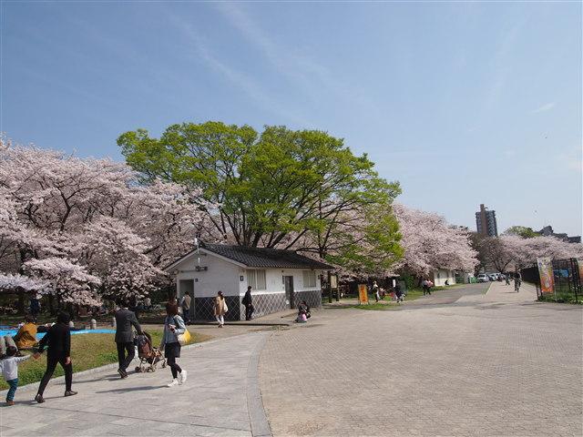 第5回 福岡城さくらまつり桜4