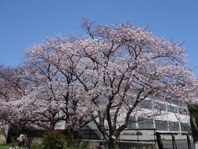 福岡城さくらまつり2015-9