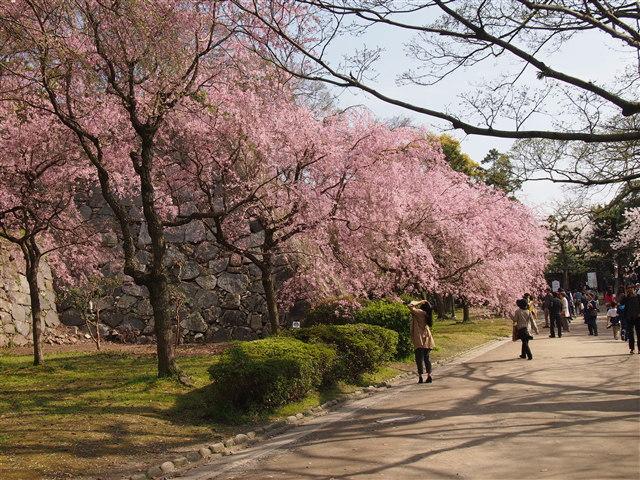 第5回 福岡城さくらまつり桜17