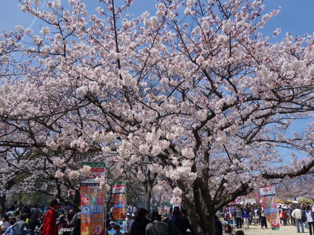 福岡城さくらまつり2015西広場3