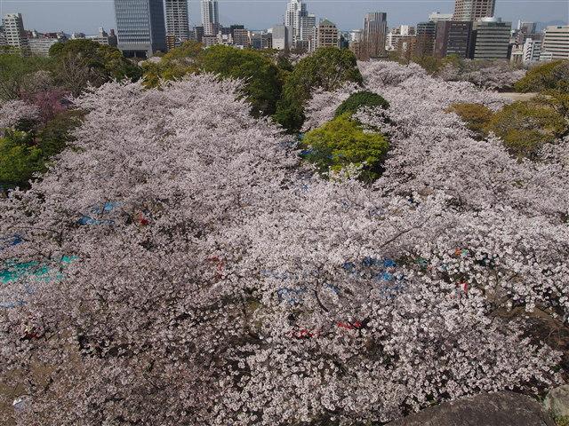 第5回 福岡城さくらまつり桜12