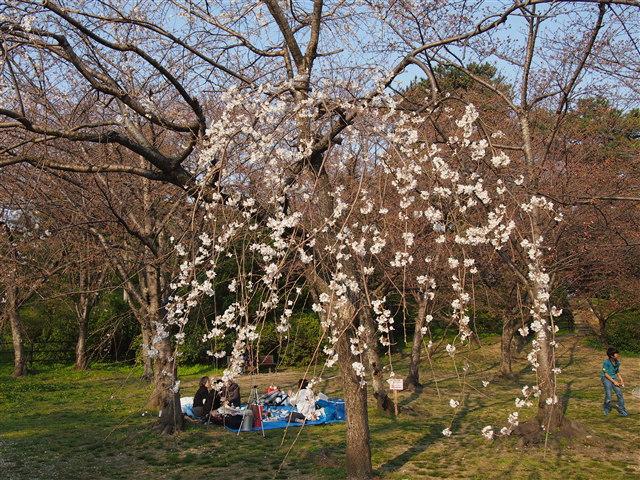 西公園桜2014-7