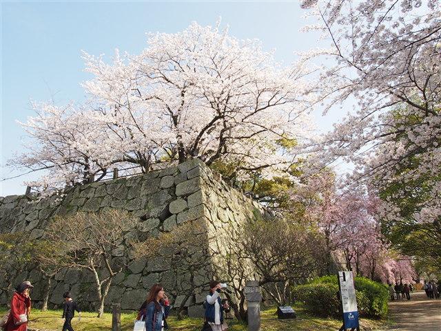 第5回 福岡城さくらまつり桜24