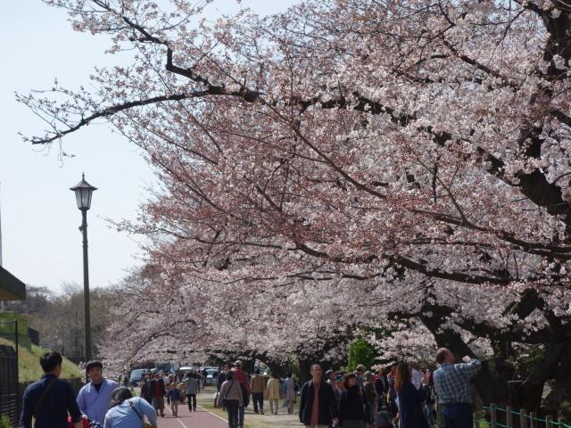 福岡城さくらまつり2015-11
