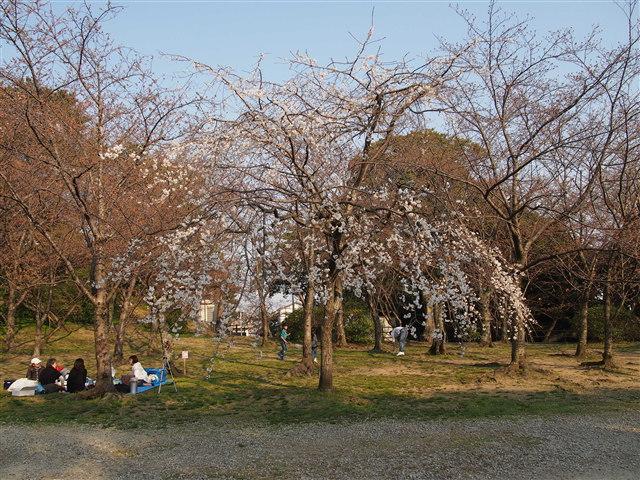 西公園桜2014-6