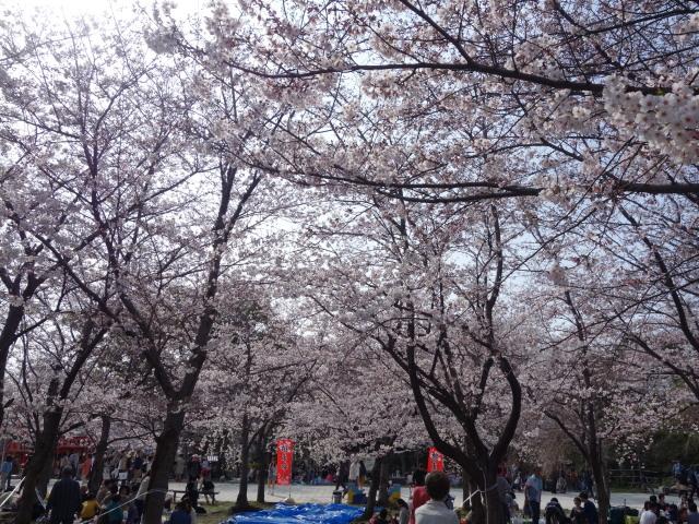 西公園桜2015階段下広場5