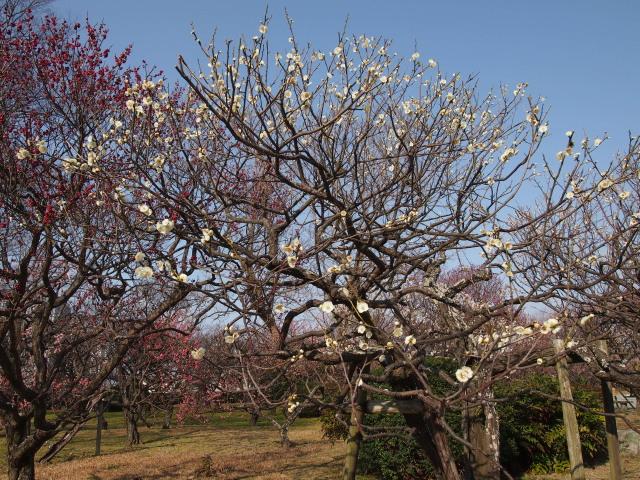 福岡城梅の花2014下5