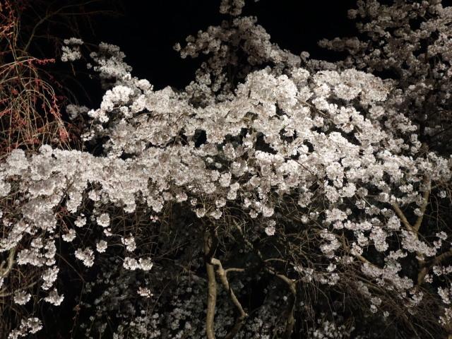 福岡城さくらまつり2015(夜桜)桜5