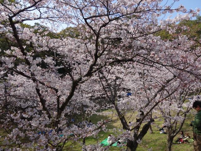 西公園桜2015さくら谷4