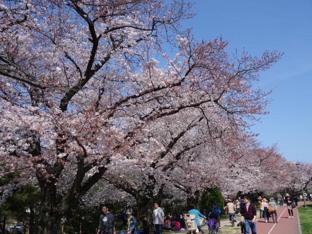 福岡城さくらまつり2015-12