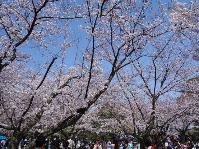 福岡城さくらまつり2015-4