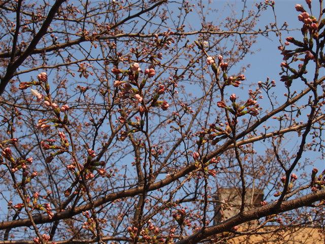 西公園桜2014-4