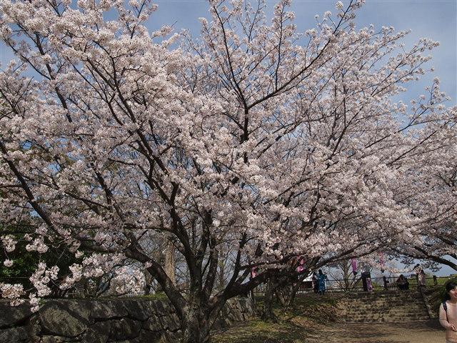 第5回 福岡城さくらまつり桜6