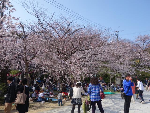 西公園桜2015階段下広場3