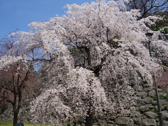福岡城さくらまつり2015-3