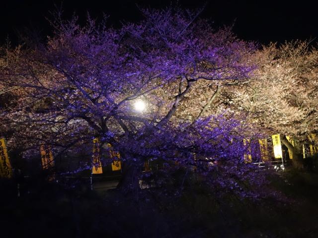 第7回 福岡城さくらまつり夜桜様子4