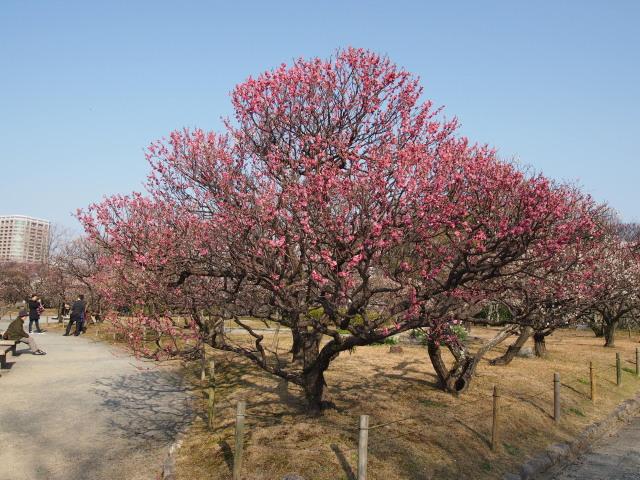 福岡城梅の花2014下6