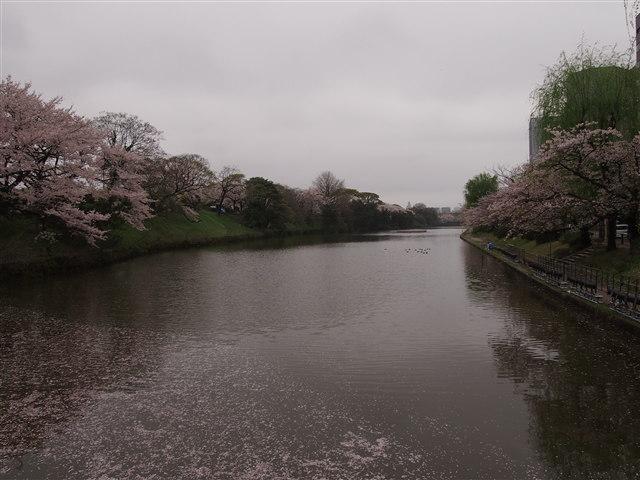 第5回 福岡城さくらまつり桜2