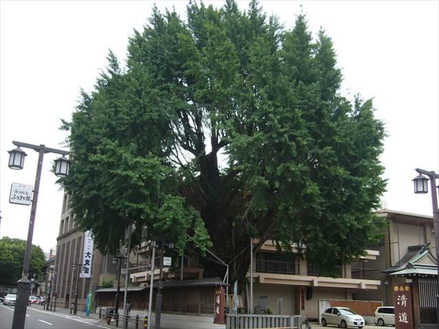 櫛田神社銀杏1