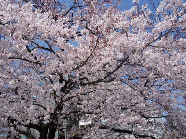 福岡城さくらまつり2015上之橋6