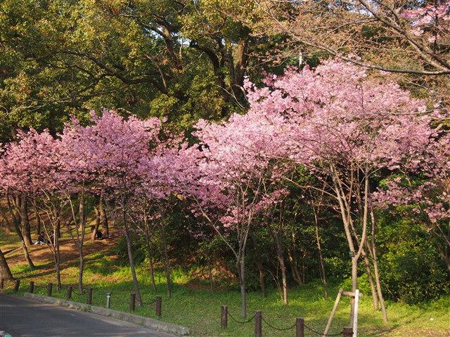西公園桜2014-10