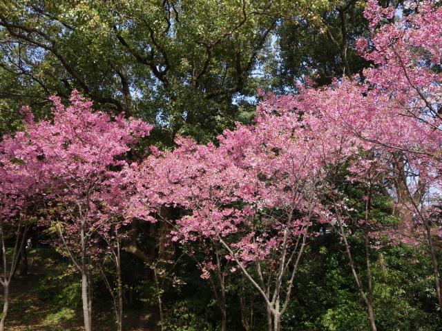 西公園桜2015さくら谷3