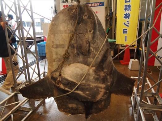 福岡市長浜鮮魚市場「市民感謝デー」291311-29