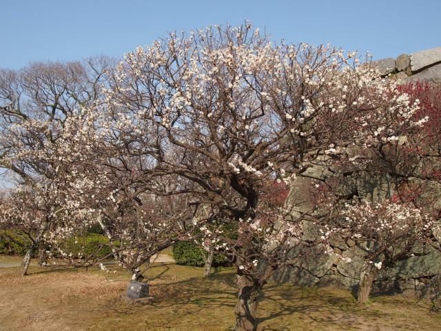 福岡城梅の花2014下13