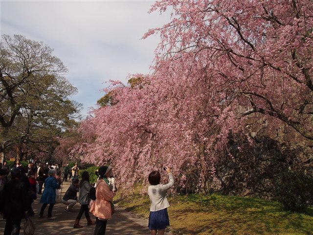 第5回 福岡城さくらまつり桜21