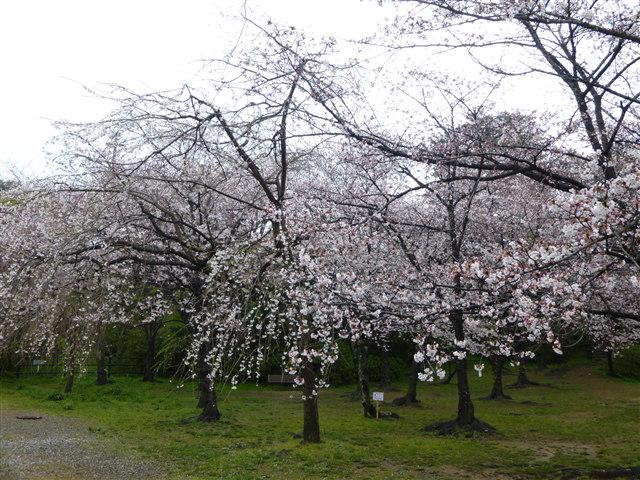西公園桜2014-18