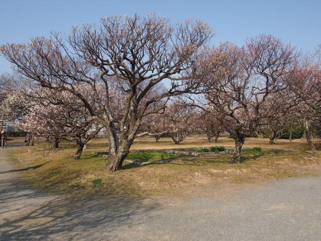 福岡城梅の花2014下12