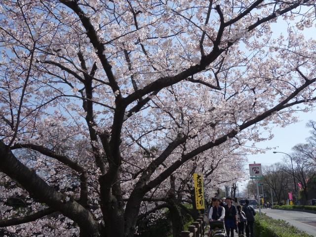 福岡城さくらまつり2015下之橋2
