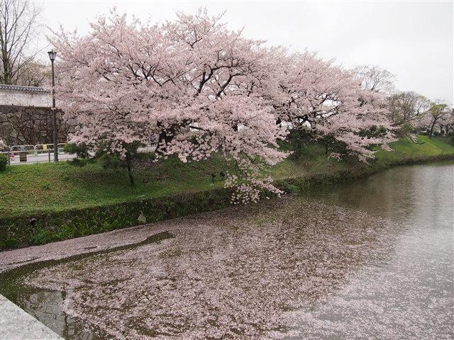 第5回 福岡城さくらまつり桜1