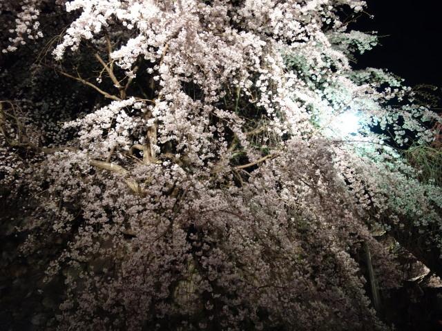 福岡城さくらまつり2015(夜桜)桜4