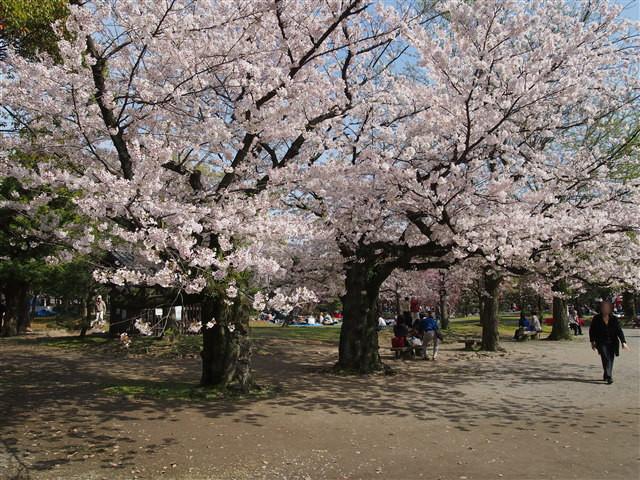第5回 福岡城さくらまつり桜8