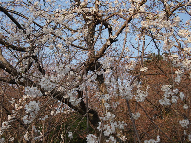 西公園桜2014-8