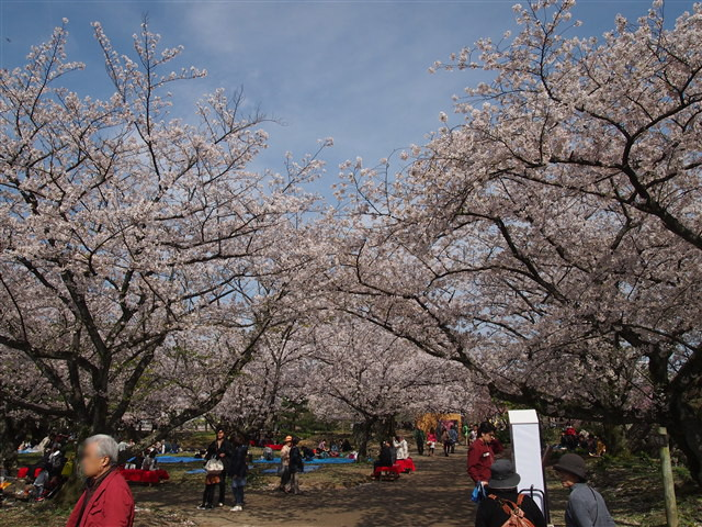 第5回 福岡城さくらまつり桜10
