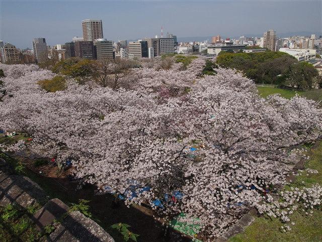 第5回 福岡城さくらまつり桜11