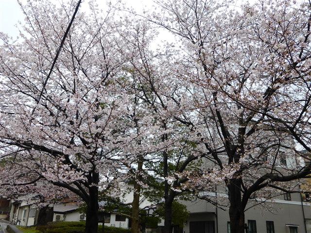 西公園桜2014-15