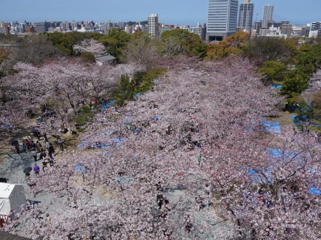 福岡城さくらまつり2015天守台3
