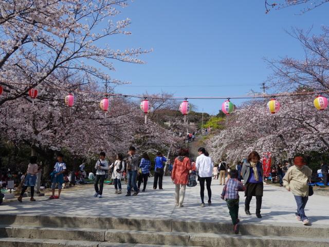 西公園桜2015階段下広場1